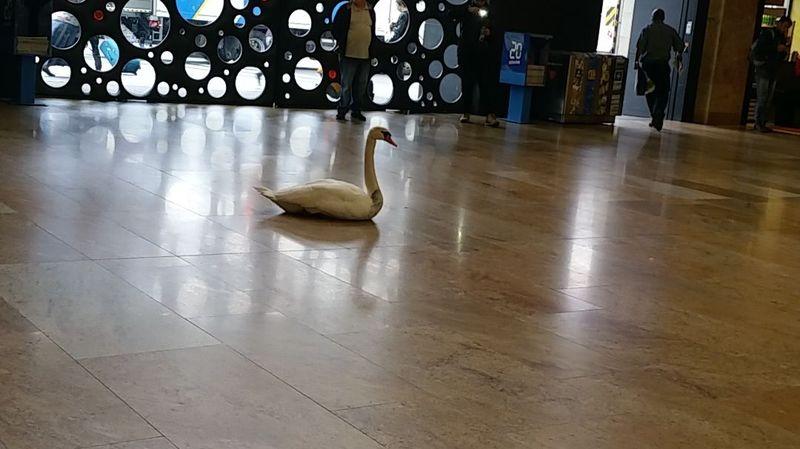 Un cygne s'est perdu dans le hall d'entrée de la gare Cornavin