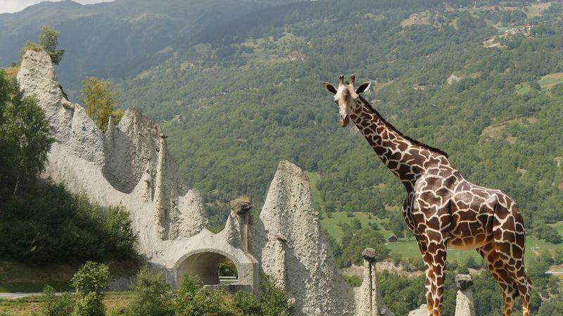 Carnet rose: un deuxième bébé girafe est né mercredi au zoo de Bâle